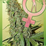 feminized marijuana seeds, marijuana seeds, low cost marijuana seeds, affordable marijuana seeds, cheap marijuana seeds, medical marijuana seeds online, buy marijuana seeds, high quality marijuana seeds, medicinal marijuana seeds, purchase marijuana seeds, best marijuana seeds, good marijuana seeds, 420 marijuana seeds, 420 cannabis seeds, cannabis seeds online, medical cannabis seeds